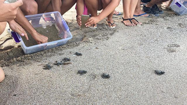 DAÜ, CAretta Caretta yavrularını denizle buluşturmaya devam ediyor