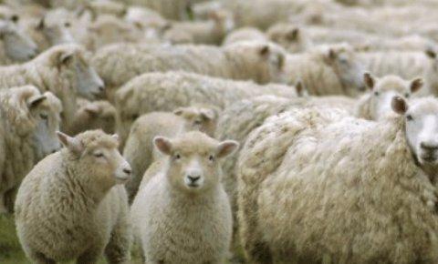 Devlet üretme çiftliği kasaplık hayvan satışı için ihale açtı