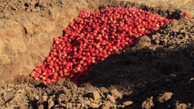 Çamlıköy'de bir üreticinin ürettiği narlarda limit üstü kalıntı tespit edildi