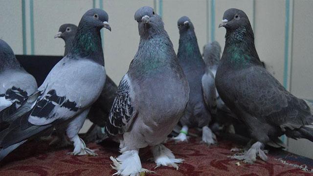 'Oyun kuşları' araba fiyatına satılıyor