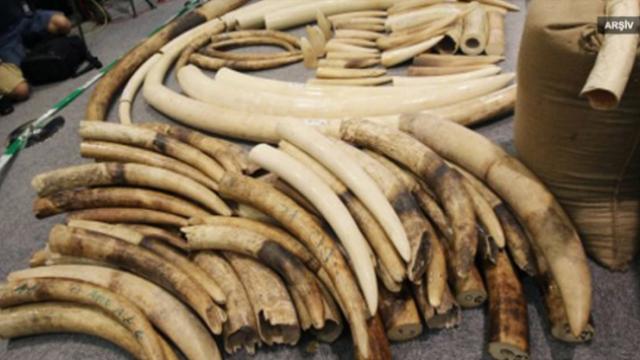 Dünyada geçen yıl rekor miktarda fil dişi ele geçirildi