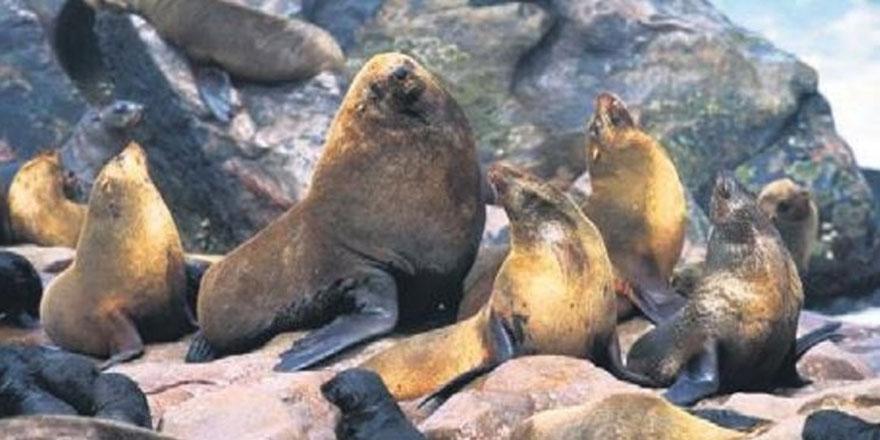 Deniz aslanları soğuktan karaya çıktı