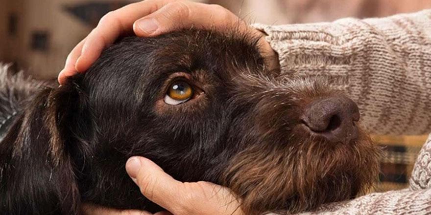 Köpeklerin 'insan yaşını' hesaplamak için' yeni formül