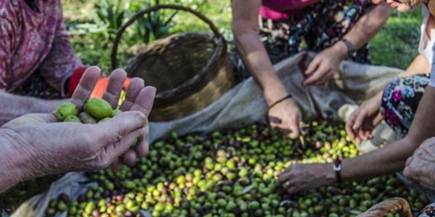 Ege'de 2600 yıldır yaşatılan zeytin kültürü