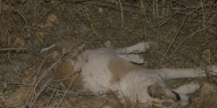 Ankara'da 'iki köpek zehirli sosislerle öldürüldü' iddiası