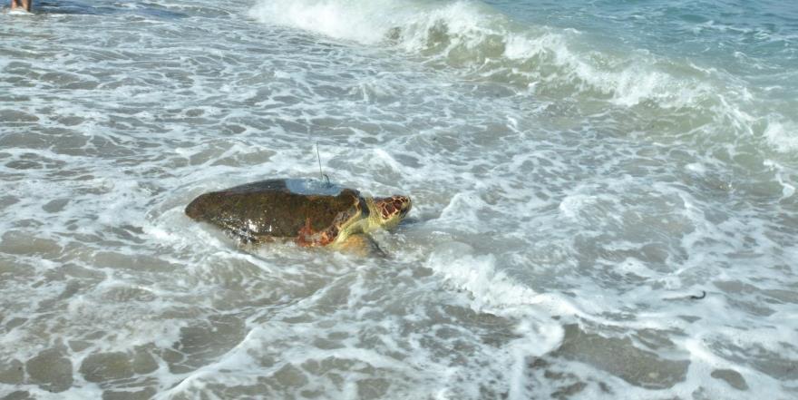 """""""Astrid"""" sağlığına kavuştu ve  yeniden denize bırakıldı…"""