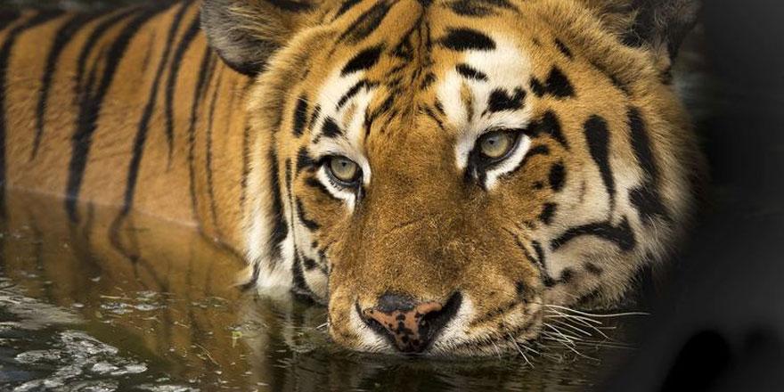 Malezya'dan kaplan avcılarını avlama kararı