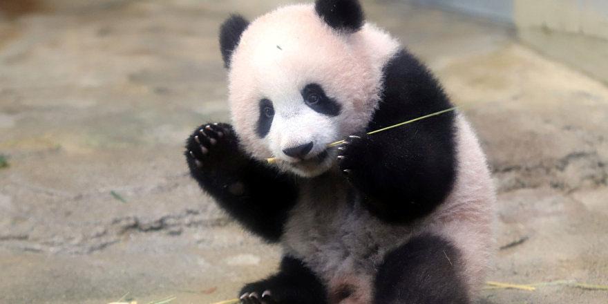 Köpekleri pandaya benzettiler: Hayvan hakları savunucuları tepkili