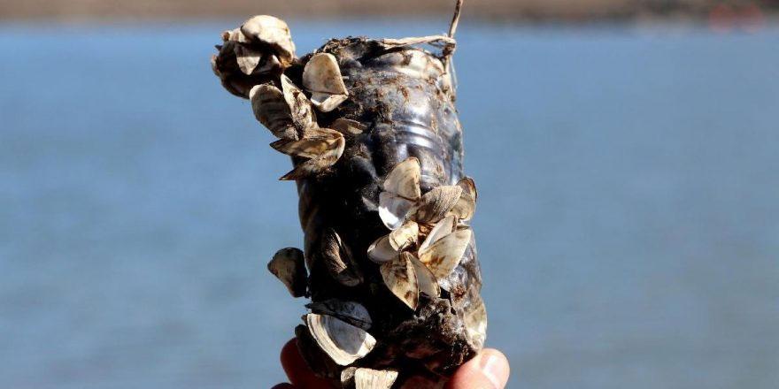 Van Gölü için 'zebra midye' tehlikesi: 800 bin yıldır görülmedi
