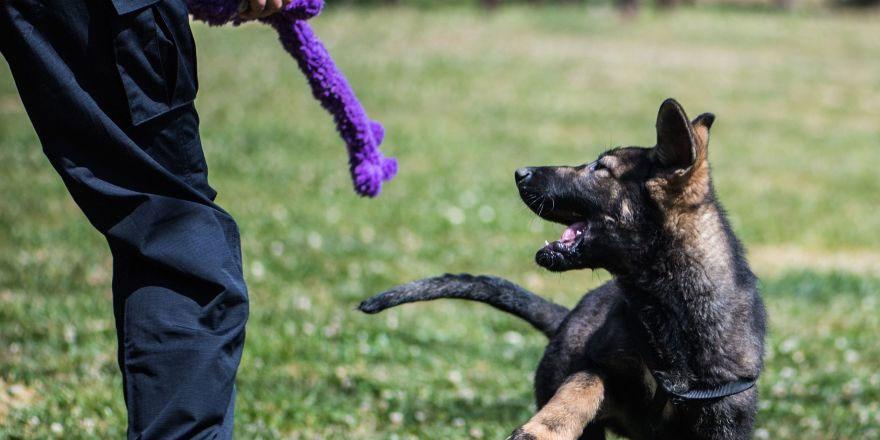 Çin'de klon köpekler göreve başladı