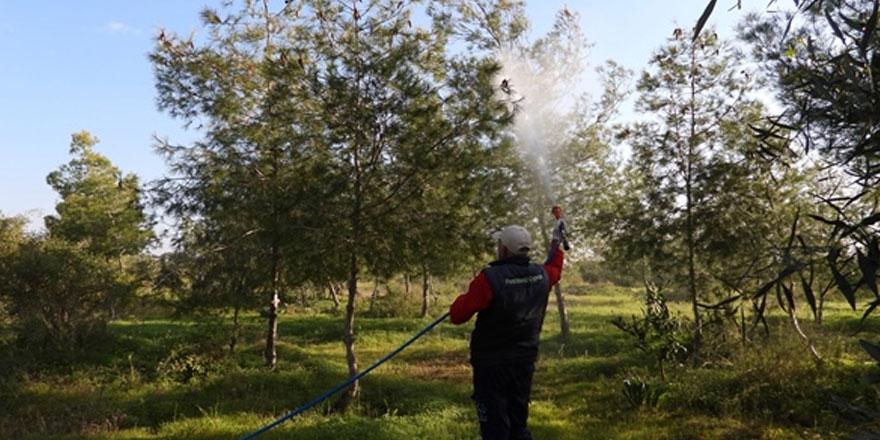 İskele'de çam kese böceği ile mücadele sürüyor