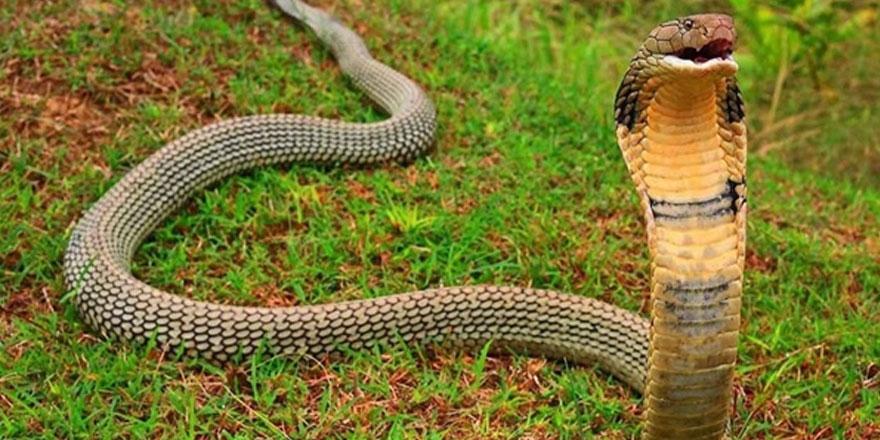 Malezya-Tayland sınırında 154 kobra yılanı ele geçirildi