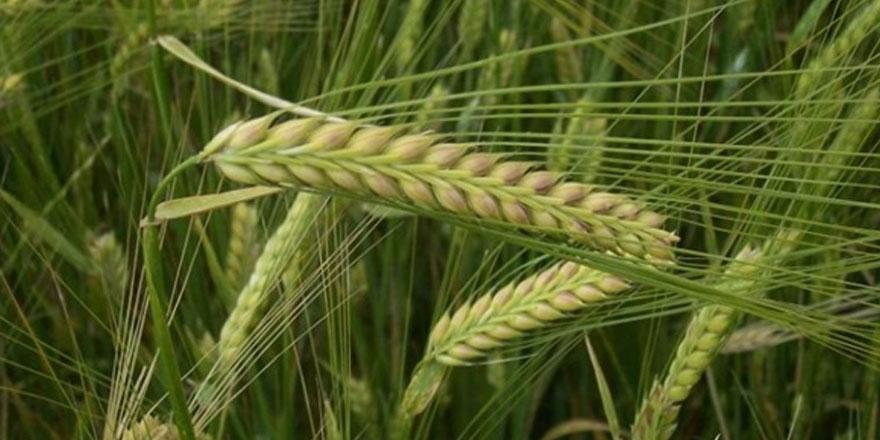 Nem ve sıcaklık, tahıl alanlarında hastalığa neden oldu