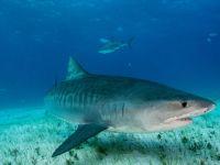 Avustralya'da köpek balığının midesinden plastik torbalar çıktı