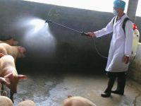Çin'de Afrika domuz vebası salgını