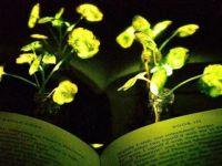 ABD'li bilim insanları ışık saçan bitki yarattı